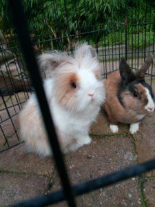 koppelen konijnen, gedrag
